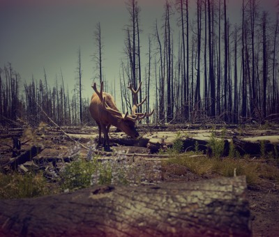 Elk in the woods